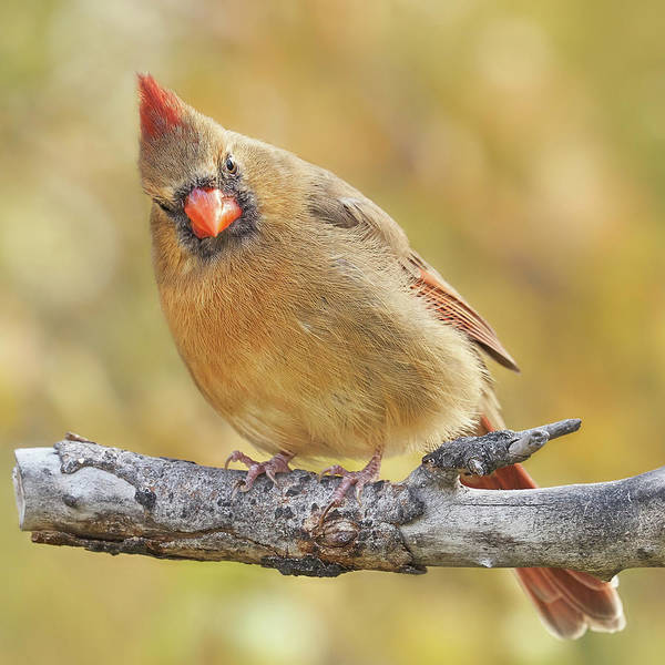 Photograph - Female Cardinal Is Not Impressed by Jim Hughes