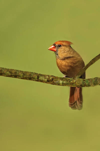 Photograph - Female Cardinal by Kay Brewer