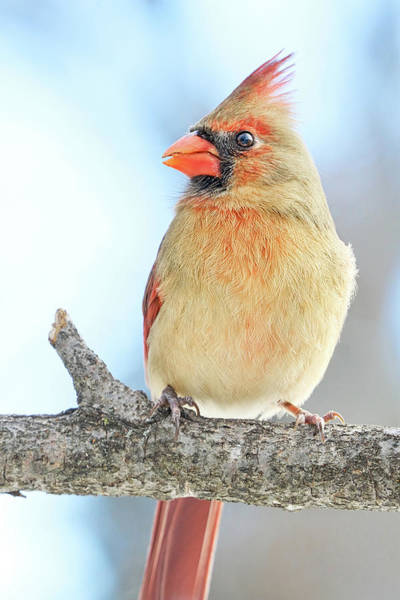 Photograph - Female Cardinal On A Winter Morning by Jim Hughes