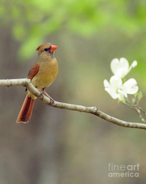Photograph - Female Cardinal On Dogwood Limb by David Waldrop