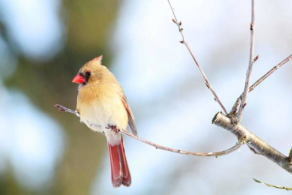 Photograph - Female Cardinal Out On A Tiny Branch by Carol Montoya