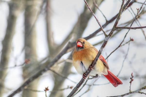 Photograph - Female Cardinal Perched On Tree by Carol Montoya