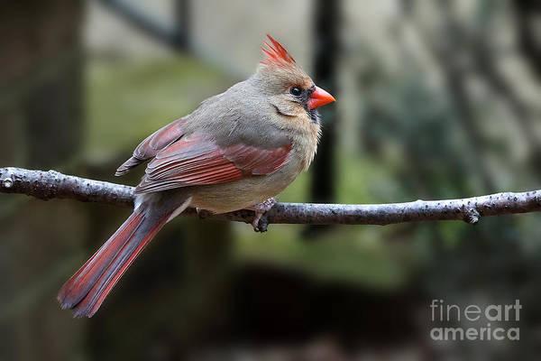 Photograph - Female Cardinal Profile by Jemmy Archer