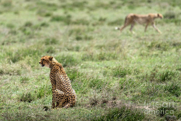 Photograph - Female Cheetah And Male On The Background by RicardMN Photography