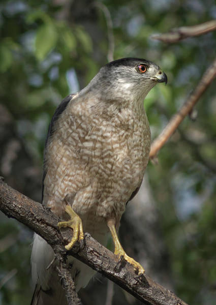 Photograph - Female Coopers Hawk by Rick Mosher
