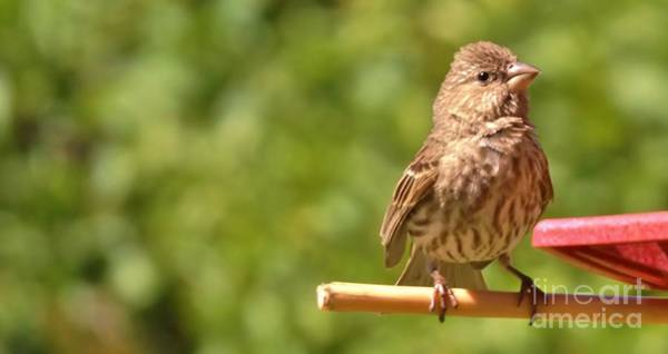 Crossbill Photograph - Female House Finch At Feeder      Summer      Indiana by Rory Cubel