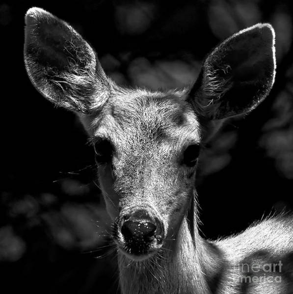 Photograph - Female Deer Black And White Portrait by Sue Harper