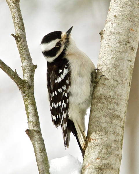 Wall Art - Photograph - Female Downy Woodpecker 1913 by Michael Peychich