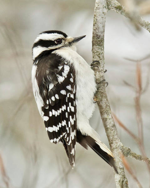 Wall Art - Photograph - Female Downy Woodpecker 2016 by Michael Peychich