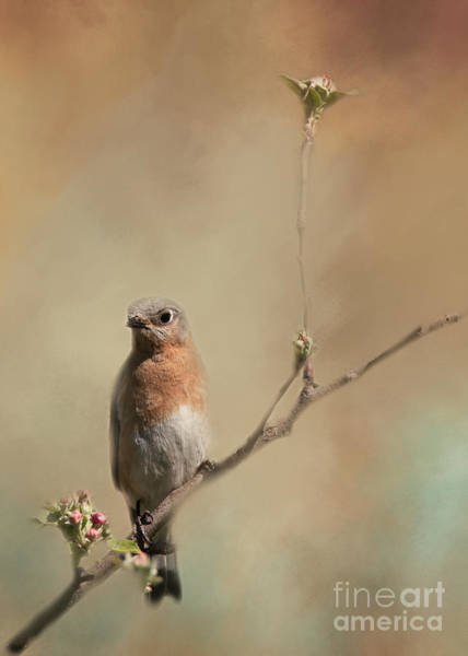 Photograph - Female Eastern Bluebird by Pam  Holdsworth