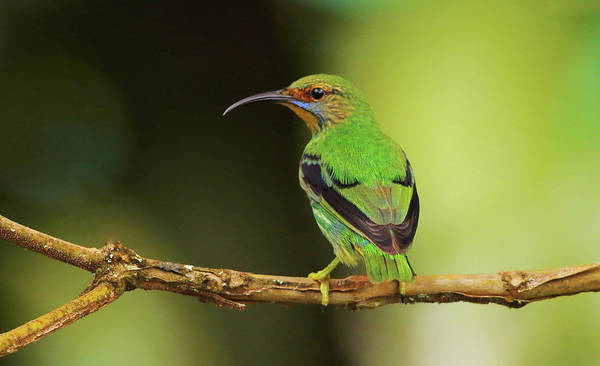 Photograph - Female Green Honeycreeper At Trinidad's Asa Wright by Steve Wolfe