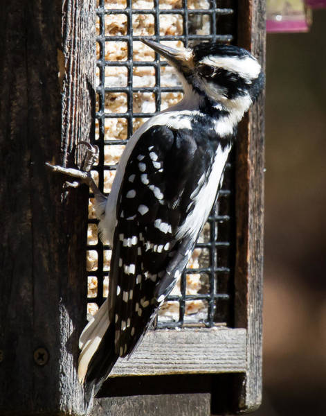 Photograph - Female Hairy Woodpecker by Robert L Jackson