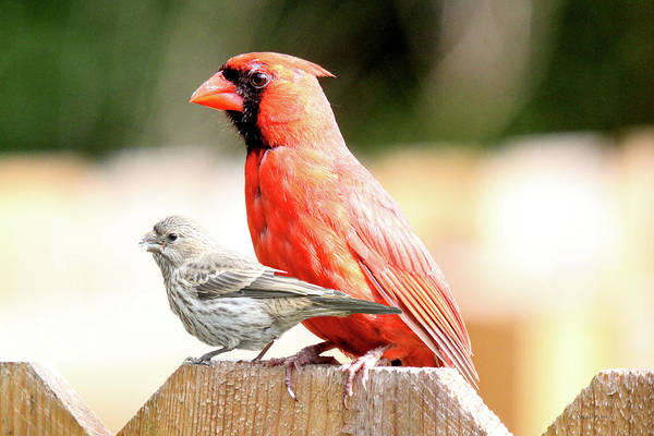 Photograph - Female House Finch And Male Cardinal On The Fence by Ericamaxine Price