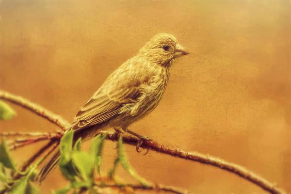 Photograph - Female House Finch Embellished by Kay Brewer