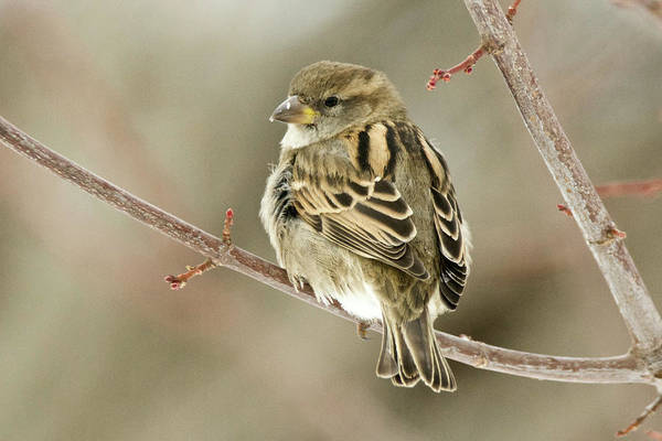 House Sparrow Photograph - Female House Sparrow by Michael Peychich