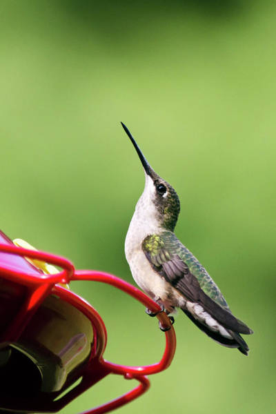 Photograph - Female Hummingbird On Feeder by Christina Rollo