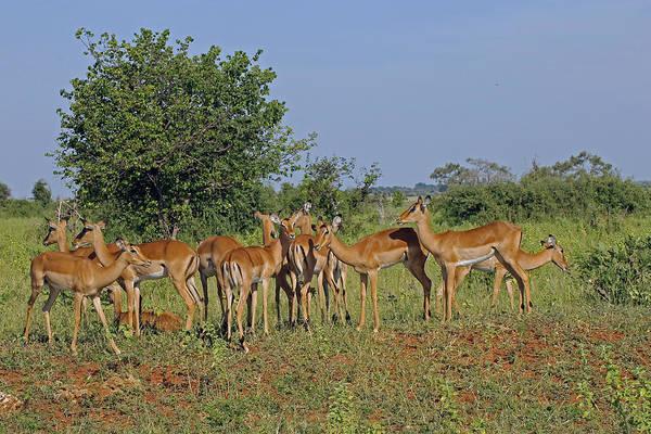 Photograph - Female Impala by Tony Murtagh