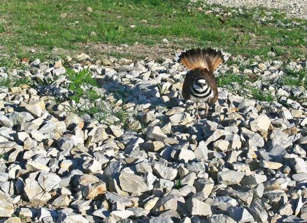 Killdeer Photograph - Female Killdeer Protecting Nest by Douglas Barnett