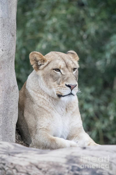 Photograph - Female Lion by Ed Taylor