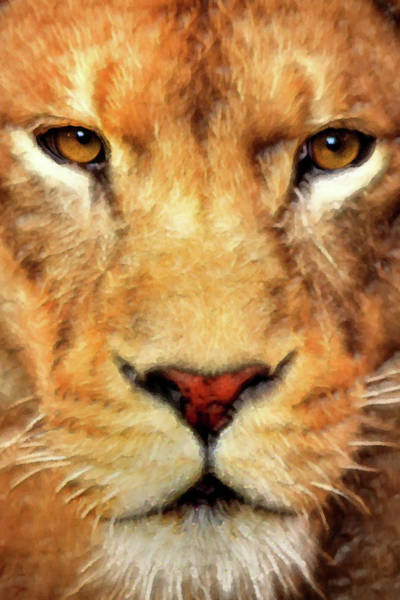 Photograph - Female Lion Stare-artistic by Don Johnson