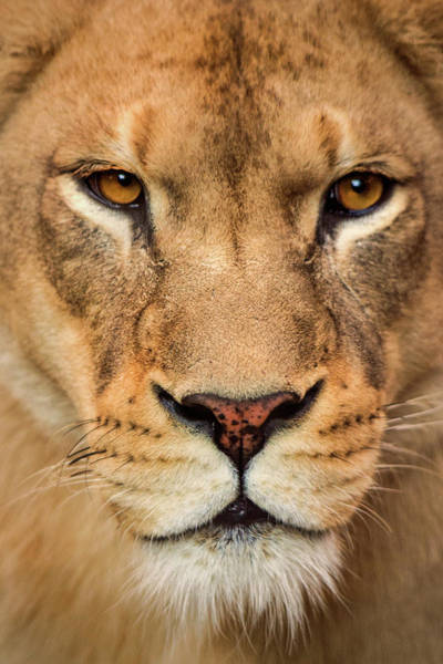 Photograph - Female Lion Stare by Don Johnson