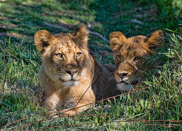 Photograph - Female Lions At San Diego Wild Animal Park by Ginger Wakem