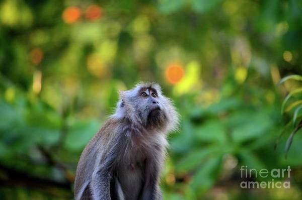 Photograph - Female Long Tailed Macaque Monkey Gazes Upwards Inside Dense Malaysian Forest by Imran Ahmed