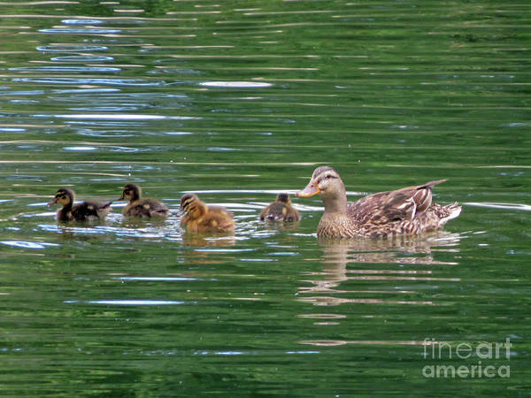 Photograph - Female Mallard And Ducklings by Cindy Murphy - NightVisions