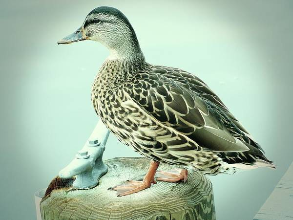 Photograph - Female Mallard Duck 2 by Angie Tirado