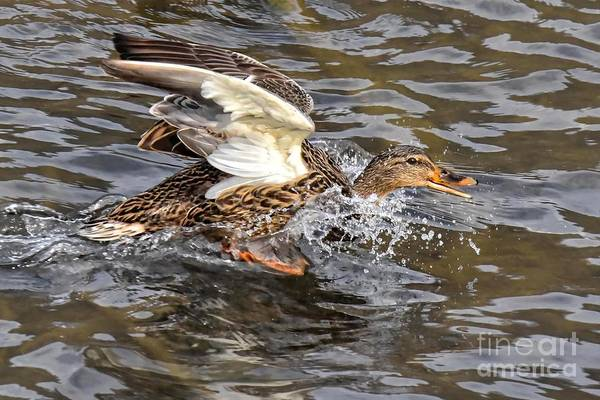 Photograph - Female Mallard Duck 5261c by Cynthia Staley