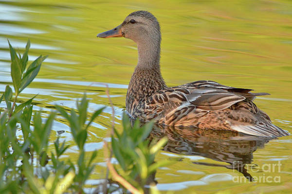 Wall Art - Photograph - Female Mallard Duck by Debby Pueschel