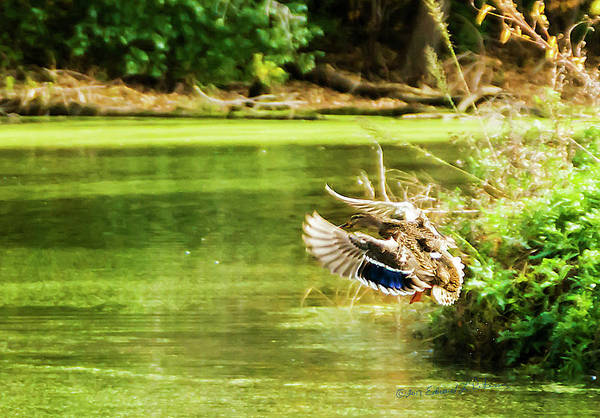 Photograph - Female Mallard Flight by Edward Peterson