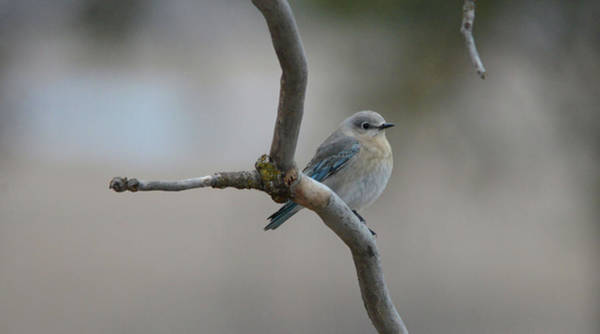 Wall Art - Photograph - Female Mountain Bluebird  by Whispering Peaks Photography