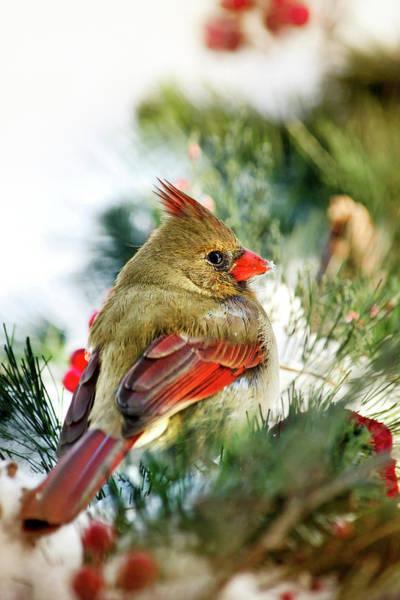 Female Cardinal Photograph - Female Northern Cardinal by Christina Rollo