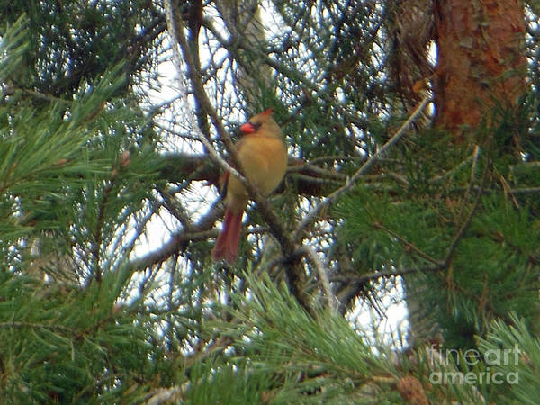 Photograph - Female Northern Cardinal by Rockin Docks Deluxephotos