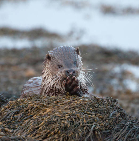 Photograph - Female Otter Eating by Peter Walkden