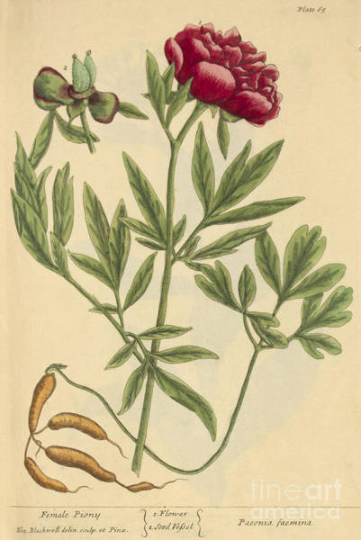Photograph - Female Peony, Medicinal Plant, 1737 by Science Source