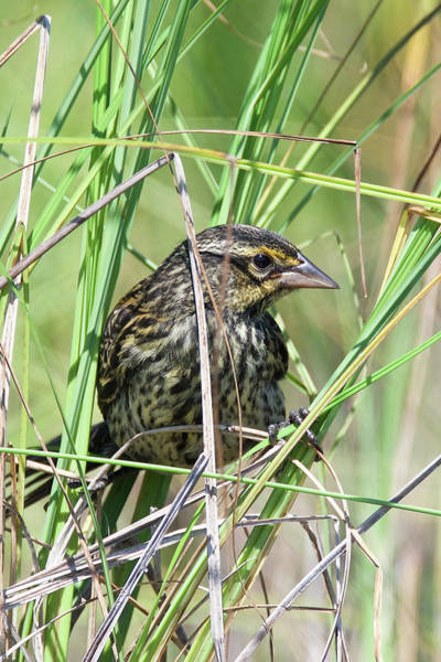 Wall Art - Photograph - Female Red Winged Blackbird 5830 by Michael Peychich