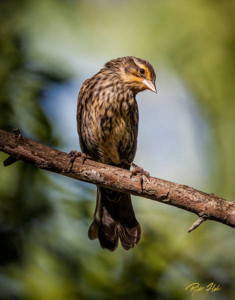 Photograph - Female Red-winged Blackbird by Rikk Flohr