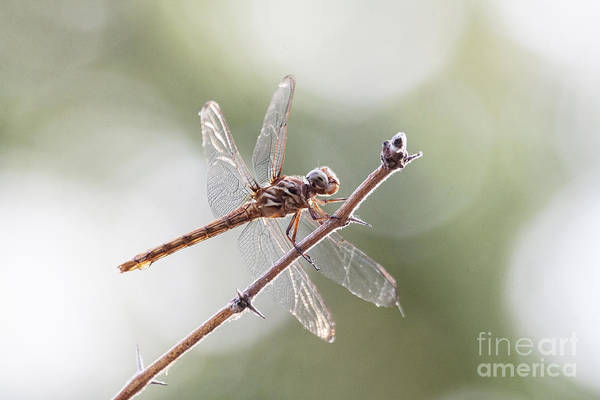 Wall Art - Photograph - Female Roseate Skimmer by Ruth Jolly