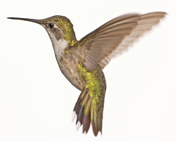 Photograph - Female Ruby Red Throat Hummingbird In Flight by Jim Vallee