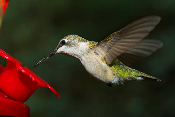 Photograph - Female Ruby-troated Hummingbird by Robert L Jackson