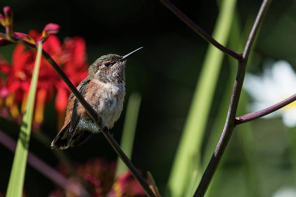 Photograph - Female Rufous Hummingbird by Robert Potts