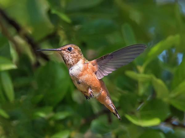 Photograph - Female Rufous Hummingbird by Loree Johnson