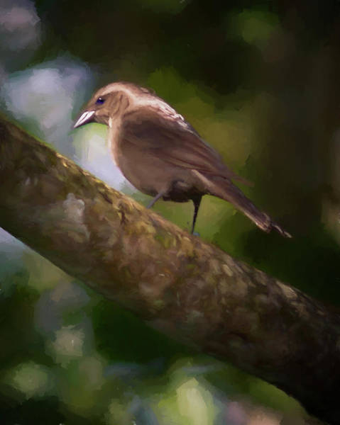 Photograph - Female Shiny Cowbird by Adam Rainoff