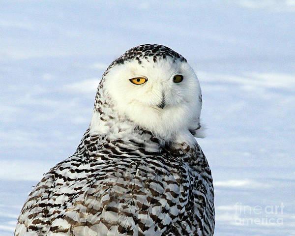 Female Snowy Owl Art Print