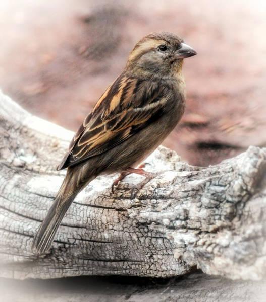 Photograph - Female Sparrow by Elaine Malott