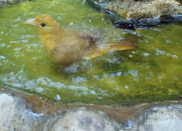Photograph - Female Summer Tanager Making A Splash by D Hackett
