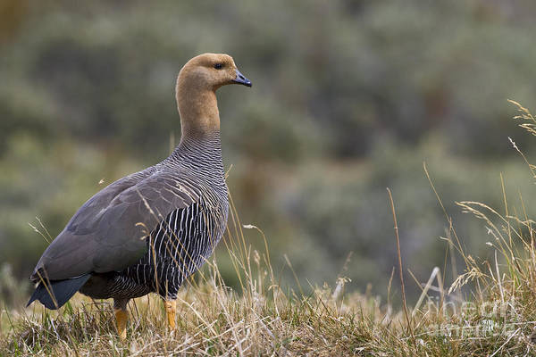 Southern Uplands Wall Art - Photograph - Female Upland Goose by Jean-Louis Klein & Marie-Luce Hubert