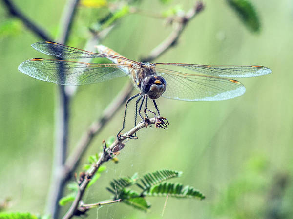 Photograph - Female Variegated Meadowhawk Dragonfly 7634-101417-1cr by Tam Ryan